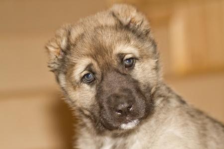 cute puppy Alabai gray color closeup photo