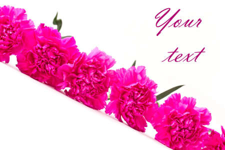 a lot of beautiful pink carnations on a white background photo