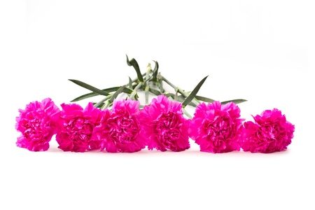 six carnations on a white background in the memory of the dead photo