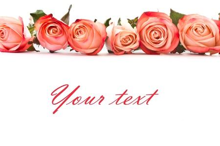 Mooie bloeiende rozen rood op een witte achtergrond Stockfoto