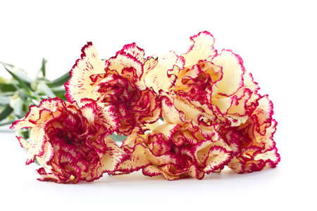 Many beautiful two-color carnations on a white background photo