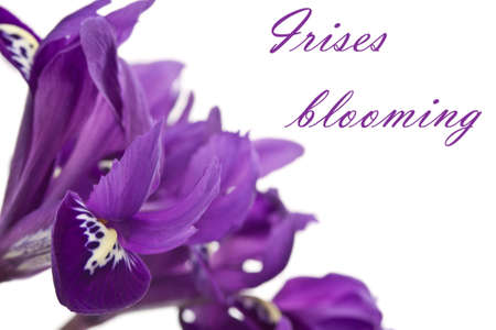 Beautiful purple irises blooming on white background photo