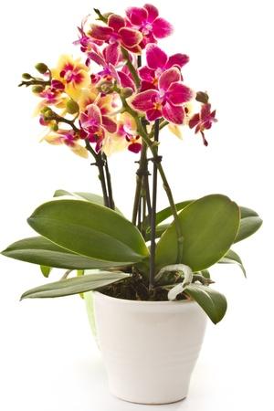 Weiße Orchideenanlage Mit Blumen Im Topf Auf Fenster Noch ...