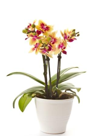 bloeien phalaenopsis op mooie heldere witte achtergrond Stockfoto