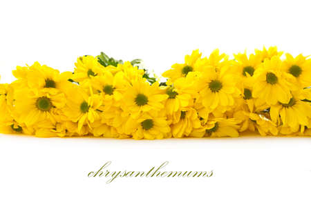 Beautiful bright yellow chrysanthemums on white background photo