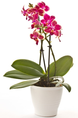 blooming phalaenopsis on beautiful bright white background photo