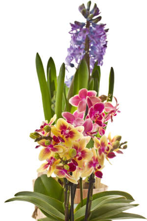 blooming phalaenopsis and hyacinth on a white background photo