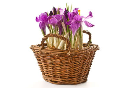Spring purple crocus in a basket on a white background photo