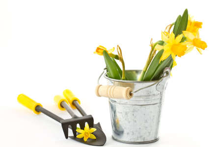 daffodils in a bucket with a shovel and a rake on white background photo