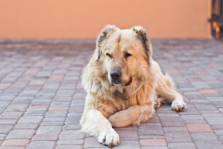 portrait of a large Caucasian Shepherd Outdoors photo