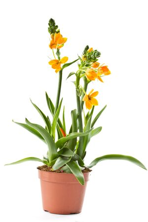 ornithogalum: blooming yellow Ornithogalum Dubium on a white background Stock Photo