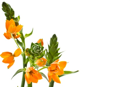 ornithogalum dubium: blooming yellow Ornithogalum Dubium on a white background Stock Photo