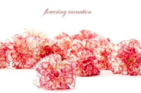 Schöne blüht rosa Nelken auf weißem Hintergrund Standard-Bild - 13134811