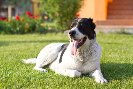 Central Asian Shepherd Dog is on the lawn photo