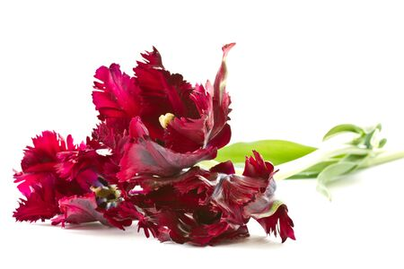 beautiful purple tulip on a white background photo