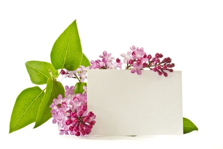 beautiful flowers blooming lilac on a white background photo