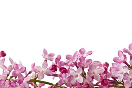 美麗的鮮花盛開的丁香在白色背景上