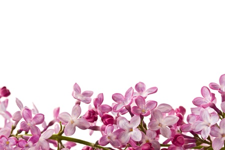 mooie lila bloemen bloeien op een witte achtergrond
