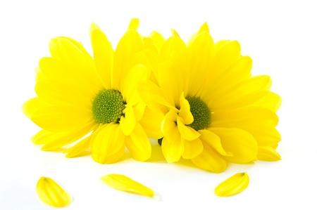 Schöne bunte Blumen Chrysantheme auf weißem Hintergrund Standard-Bild - 13608510