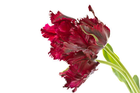 beautiful purple tulip on a white background Stock Photo - 13608505