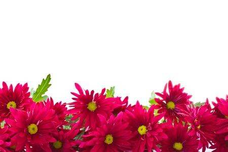 菊花花是美麗的白色背景上的