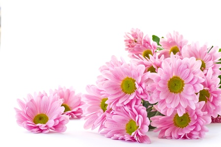 Chrysanthemum flowers are beautiful on a white background
