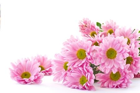crisantemos: Las flores de crisantemo son hermosas en un fondo blanco