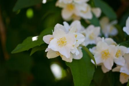jessamine: profumati fiori di gelsomino nel giardino d'estate Archivio Fotografico