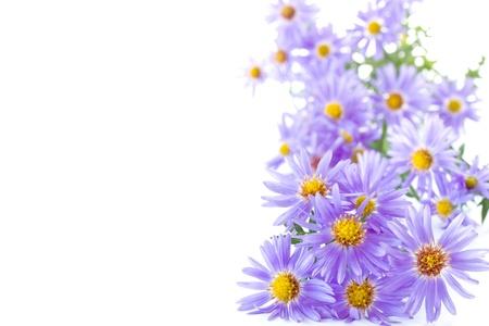 在白色背景美麗的藍色秋天的菊花
