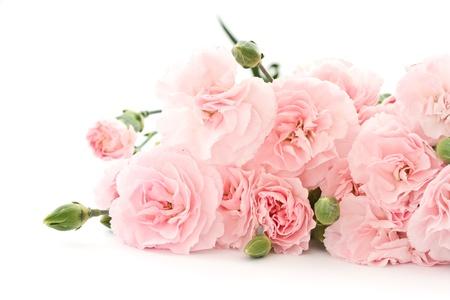 clavel: hermosas flores de clavel floreciente en un fondo blanco Foto de archivo