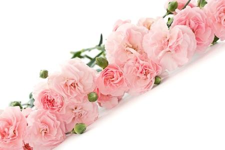 karanfil: beyaz zemin üzerine güzel çiçek açan karanfil çiçekler Stok Fotoğraf