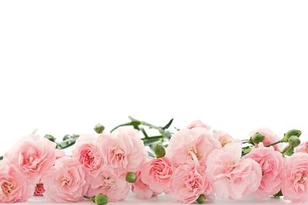 在白色背景上的美麗的盛開的康乃馨