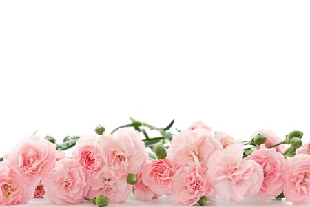 karanfil: beyaz zemin üzerine güzel çiçek karanfil çiçekler