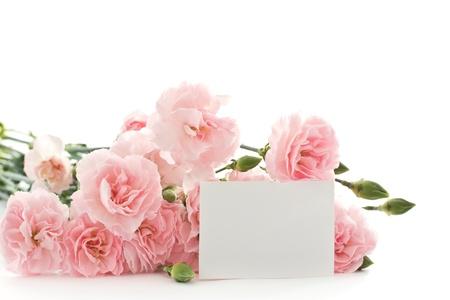 美麗的康乃馨盛開的花朵在白色背景上