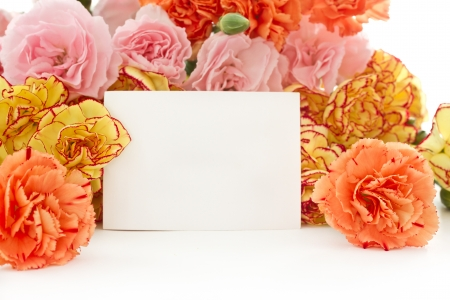 gilliflower: beautiful blooming carnation flowers on a white background