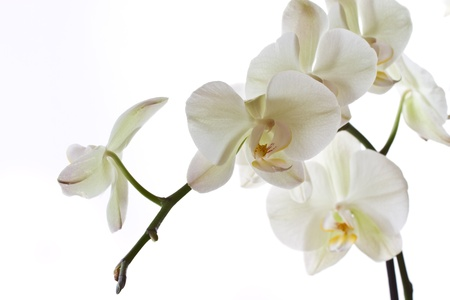 branch beautiful orchids on a white background photo