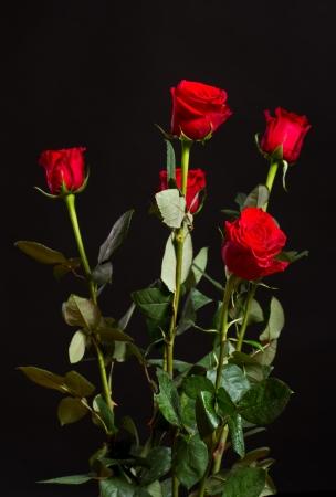 紅玫瑰與水珠黑色背景 版權商用圖片