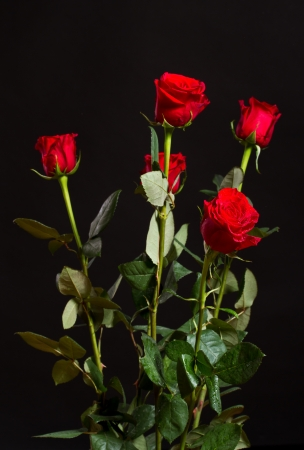 rosas negras: rosa roja con gotas de agua sobre un fondo negro