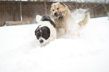 alabai: two large guard dogs playing in the snow in winter