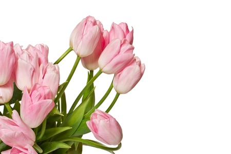 beautiful natural pink tulips on white background photo