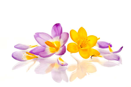 beautiful spring crocus on a white background photo