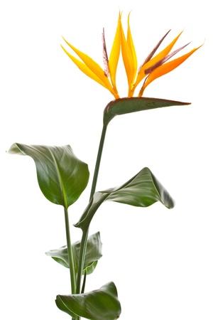 在白色背景上的美麗的花鶴望蘭