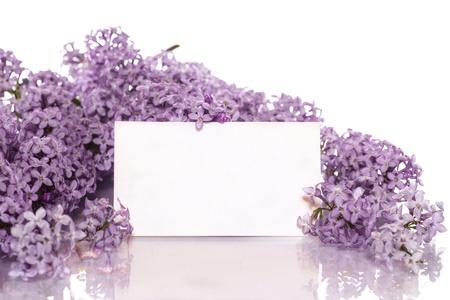 在白色背景上盛開的春天紫丁香