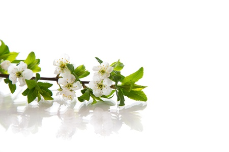 spring flowers of fruit trees on a white background photo