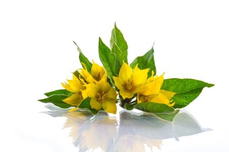 夏季美麗的黃色花朵在白色背景上