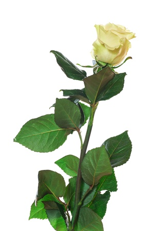 long stem roses: single white Rose standing in front of a white background Stock Photo