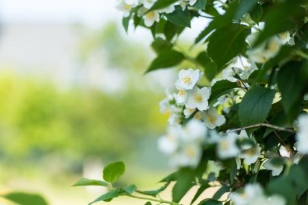 jasmine bush: blooming jasmine bush in summer warm day Stock Photo