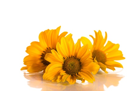 heliopolis: geliopsis beautiful yellow flowers isolated on white background