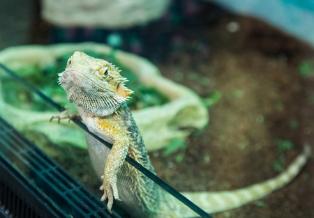 tropical lizard looks out of the cage photo