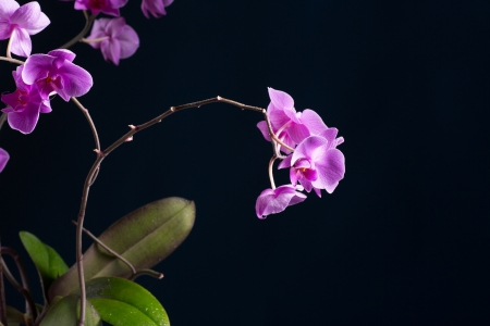 Phalaenopsis beautiful flowers on a black background photo